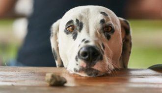 Hund Betteln Abgewöhnen: Die Beste Lösung
