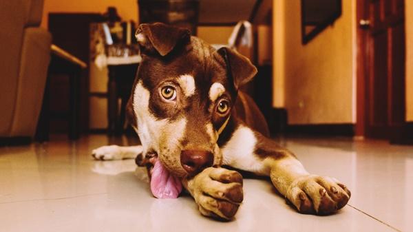 hund leckt pfoten ab